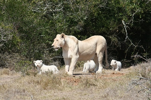 A white lioness and her cubs parade around the Pumba Game Reserve