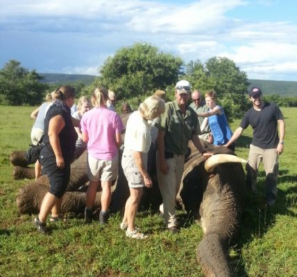 A darted elephant sleeps with volunteers nerby