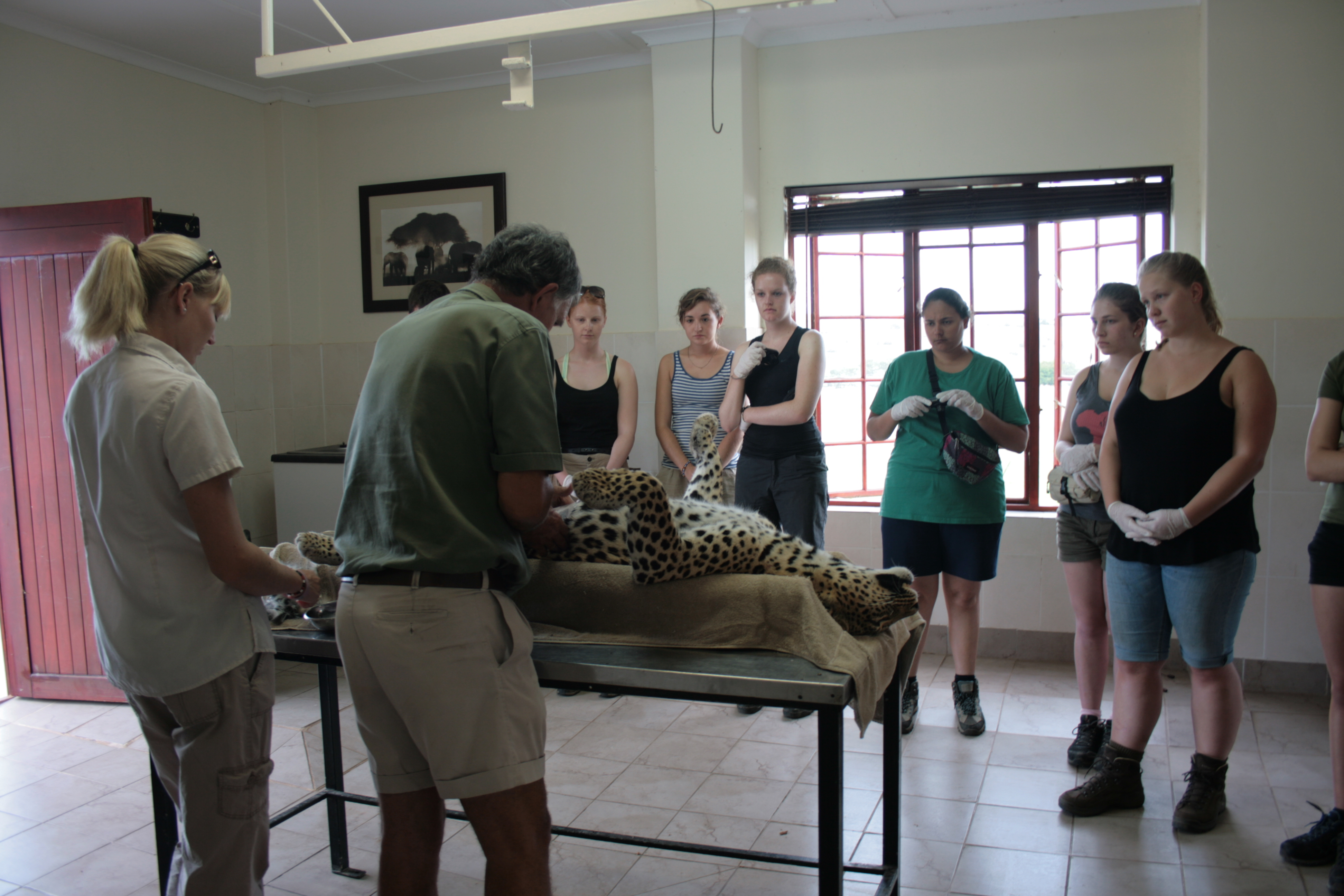 A Shamwari vet explain to our veterinary students how you prepare a leopard to have a transmitter changed