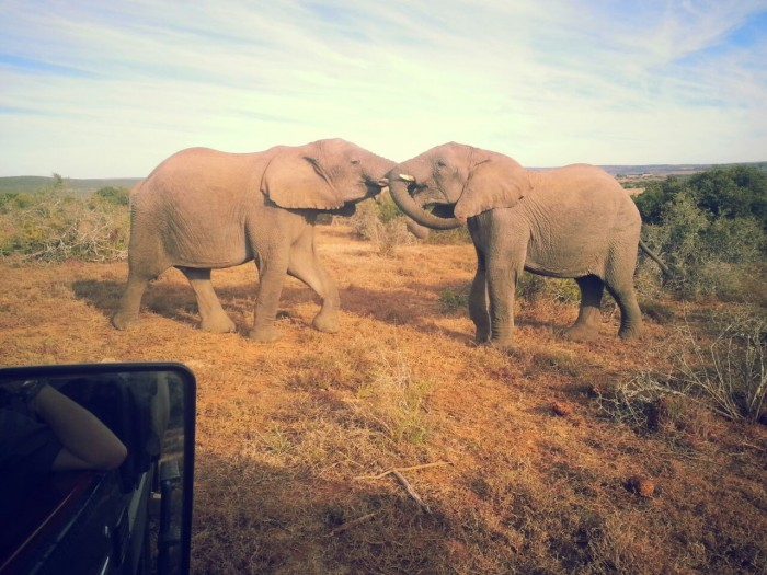 Two elephants clashing for the cameras, as our volunteers from Abingdon Witney College watch on