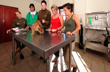 Vets and volunteers watch on as a caracal prances around the operating table