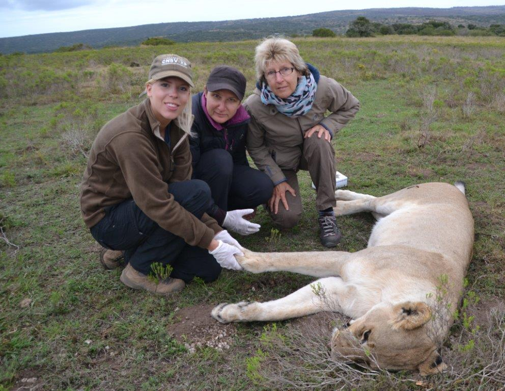 A vet and volunteers at the Shamwari Game Reserve look after a lioness