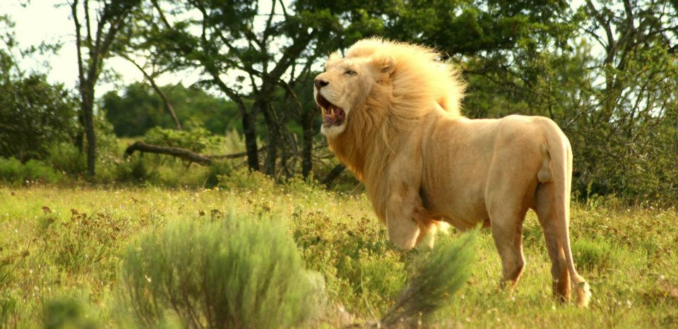 A white lion roars on the Pumba Game Reserve