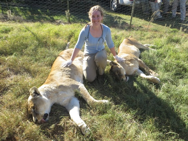 A veterinary student poses with two lionesses