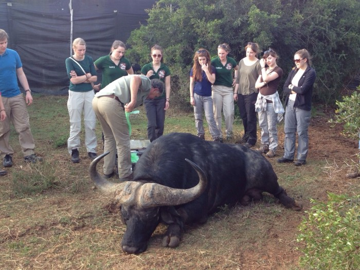 Gap Africa volunteers watch on as a vet treats a buffalo