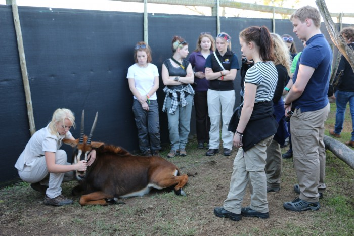 Volunteers listen as a vet explains some treatment on a sable