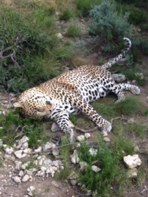 Leopard-Shamwari