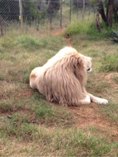 A lion enjoying the sun at the Born Free Centre