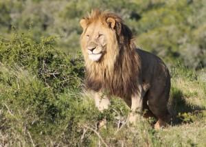 A lion roaming through the Shamwari Conservation Experience