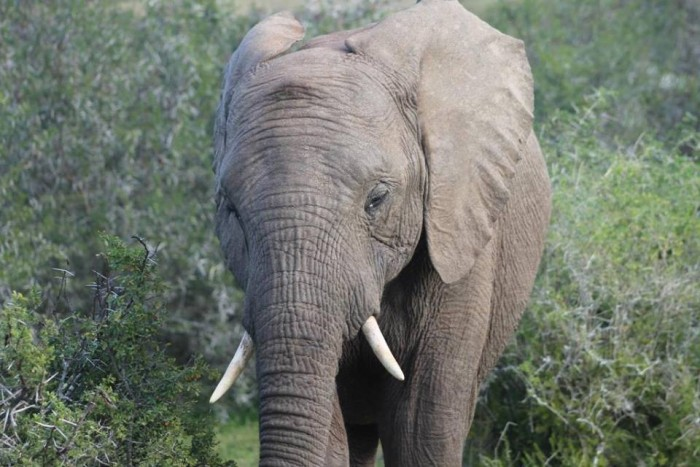 An elephant moving through the South African overgrowth
