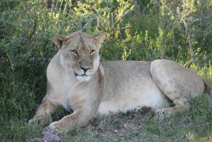 A lioness relaxing in the shade, spotted by the Cornwall College Gap Africa volunteers