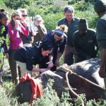 Veterinary students work with the Shamwari team to treat a hippo