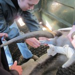 Veterinary student administering injection into ear of eland