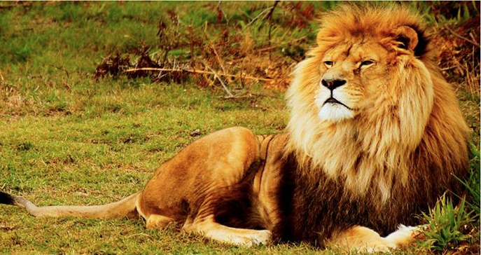 A large lion, with a gorgeous mane relaxes in South Africa