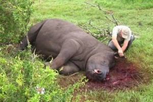 Thandi after poachers removed her horn