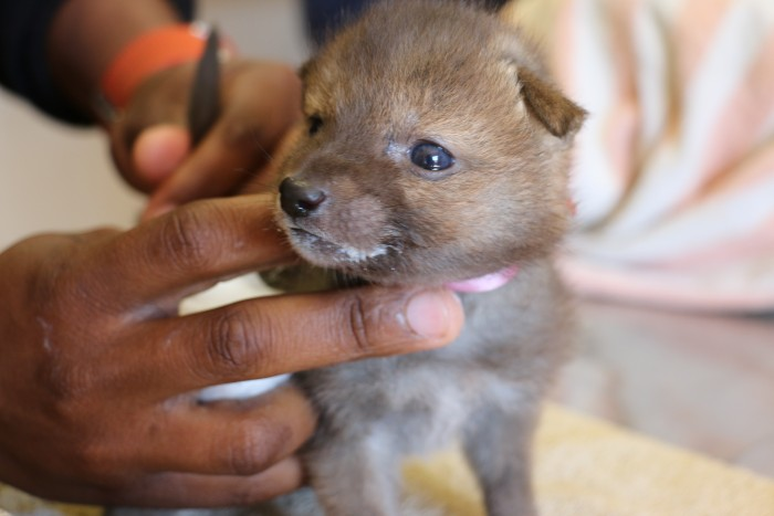 An extremely cute jackal puppy
