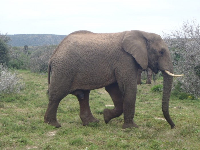 An elephant bull strolling across the Shamwari