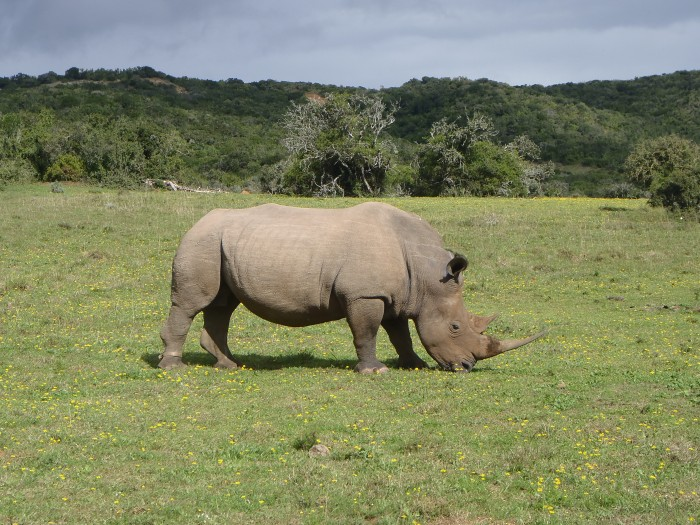 A rhino grazing on grass at the Shamwari