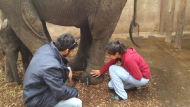 Two veterinary students take a look at an elephant's foot