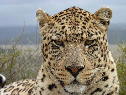 Leopard scowling straight at the camera
