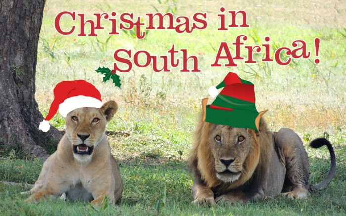 Two lions celebrating Christmas in South Africa