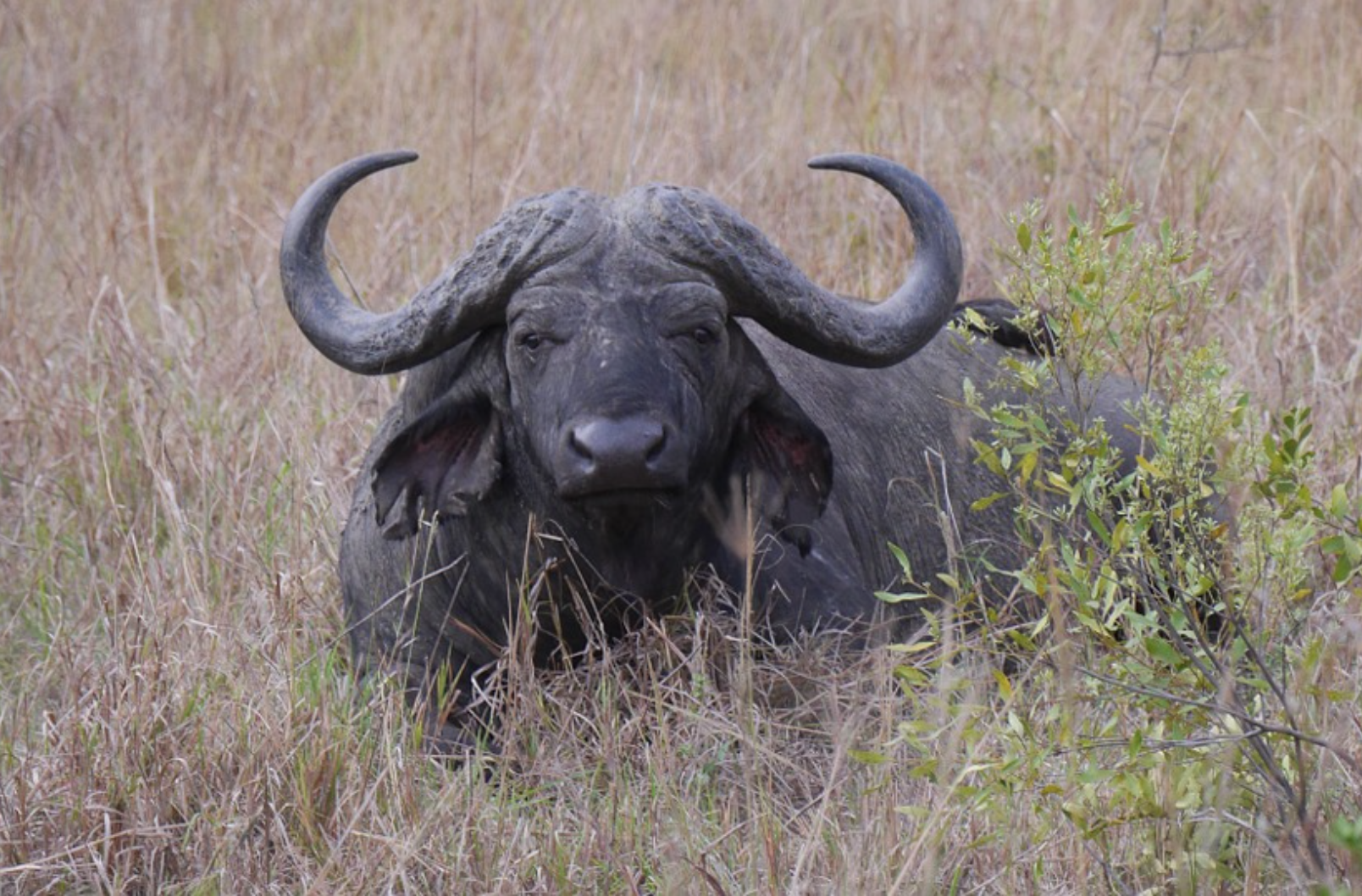 An African buffalo with big horns standing in the field in South Africa