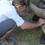 One of the vets works to treat a buffalo