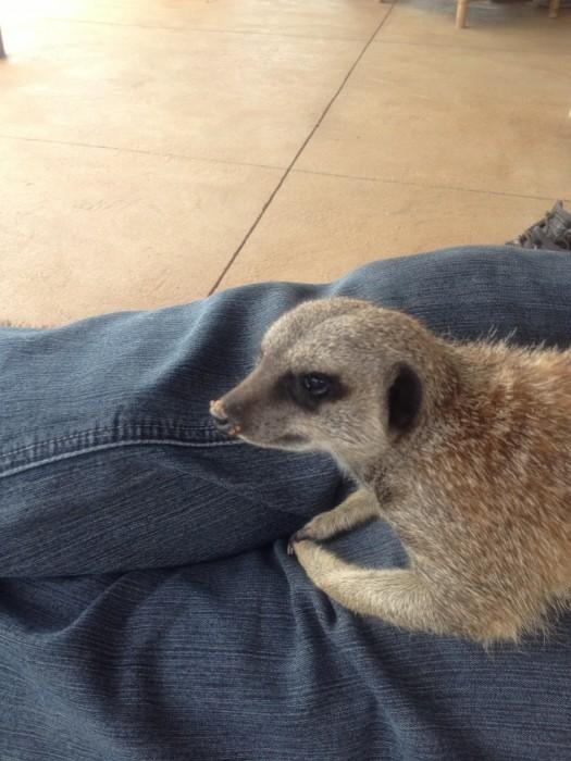 A cute meerkat sits on a vets lap
