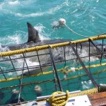 A shark emerges from the water as volunteers watch on from in a shark cage