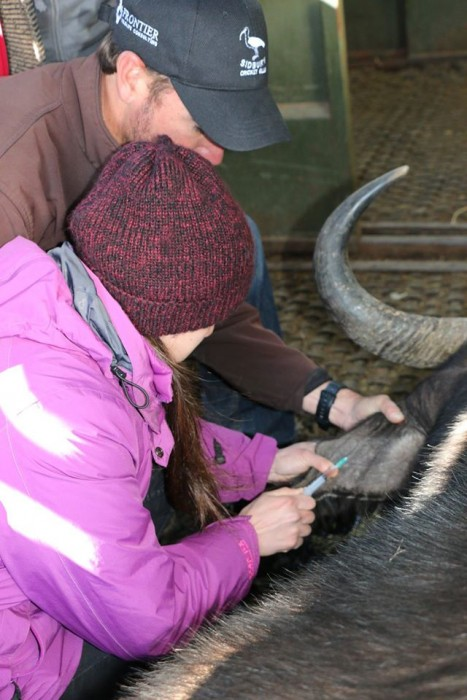 A buffalo is treated by a vet and student