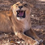 A snarling lioness displaying her teeth