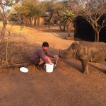 One of the Gap Africa volunteers feeds a young rhino