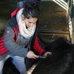 One of the Vet Eco Safari Experience volunteers treating a buffalo