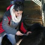 One of the Vet Eco Safari Experience volunteers treating a buffalo