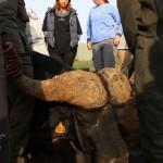 A sedated buffalo