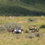 A herd of zebra stand in the distance of a hill as volunteers treat an animal nearby