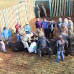 Our volunteers watch on as Shamwari staff treat two buffalo