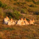 A pride of lionesses in the wild