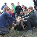 volunteers on a Vet Eco Safari Experience project treat a sedated animal