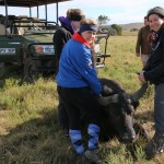 volunteers holding a sedated buffalo