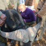 A volunteer treats a buffalo whilst Shamwari staff look on
