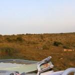 A lion pride sitting near the Shamwari team's jeep