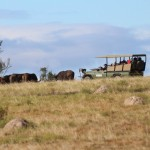Shamwari staff dart buffalo on the Vet Eco Safari Experience