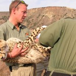 Vets move a sedated cheetah