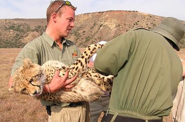 Vets move a sedated cheetah