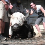 A blindfolded buffalo posing with a volunteer