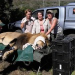 A large lion receiving treatment in Amakhala
