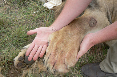 A human hand compared to a lion's paw