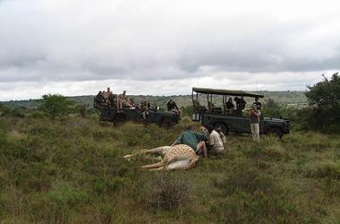 Amakhala vets treat a sedated giraffe
