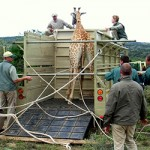 A giraffe on the back of a Amkhala vehicle.